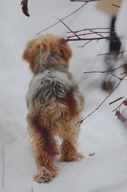 A dog stands outside in the snow by Chelsea Victoria for Stocksy United