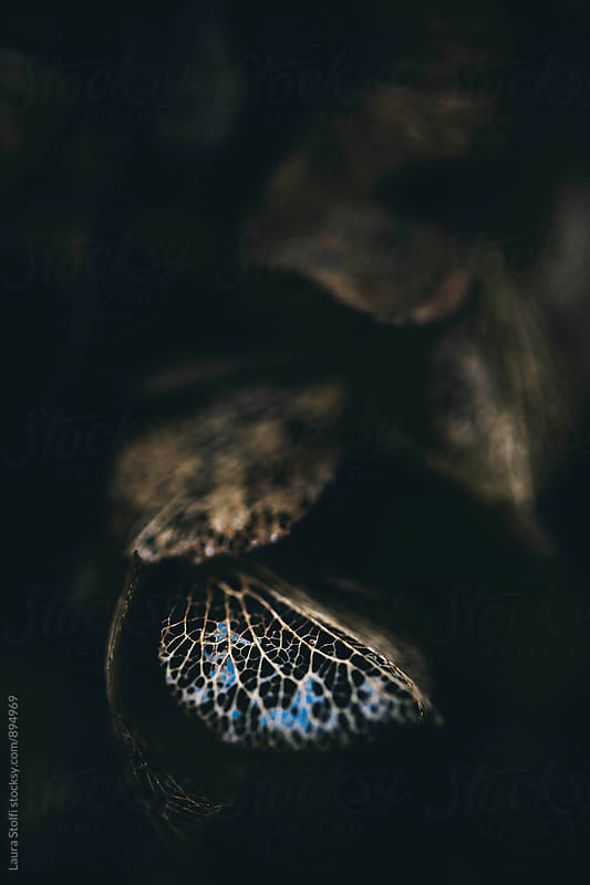 Sky reflected on water on withered hydrangea petal's skeleton in the dark by Laura Stolfi for Stocksy United