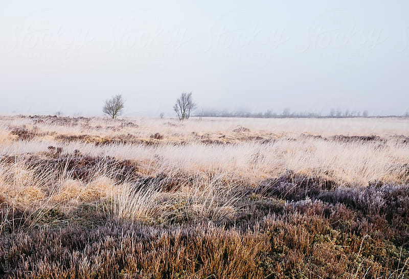 Frozen heather in the fog at sunrise. Beeley Moor, Derbyshire, UK. by Liam Grant for Stocksy United