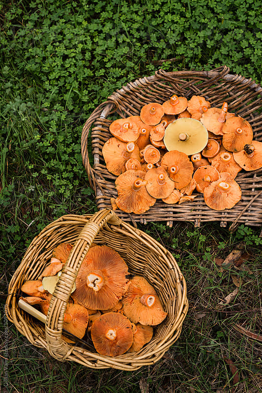 mushroom foraging in fall by Gillian Vann for Stocksy United