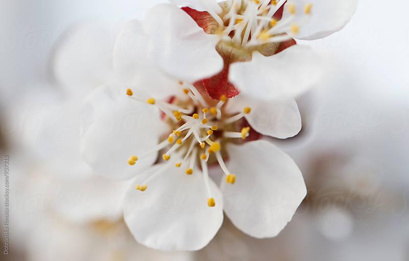 Apricot tree blossom by Dobránska Renáta for Stocksy United