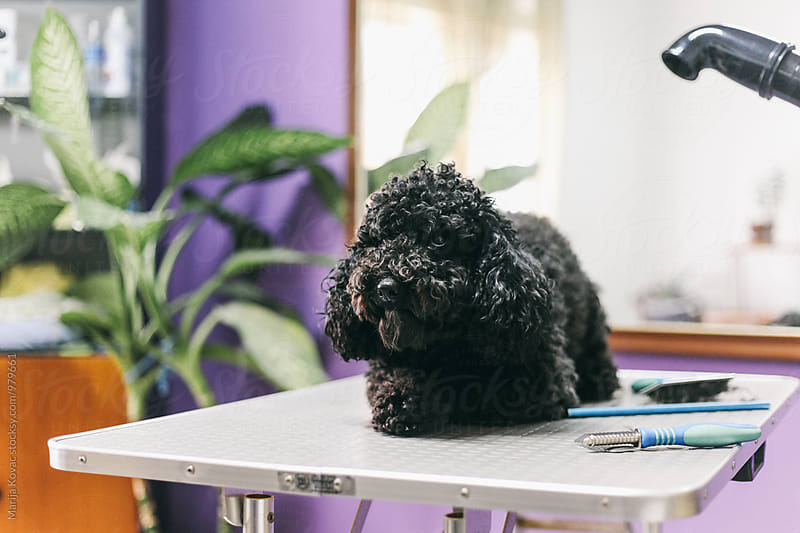 Dog at the groomer  by Marija Kovac for Stocksy United