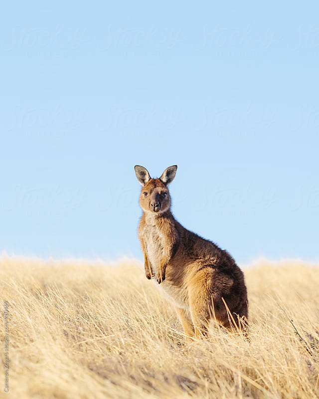 Kangaroo in Grasslands by Cameron Zegers for Stocksy United