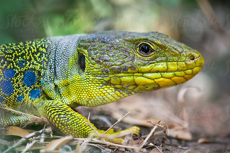 Close-up of a Lizard Ocellated by ACALU Studio for Stocksy United