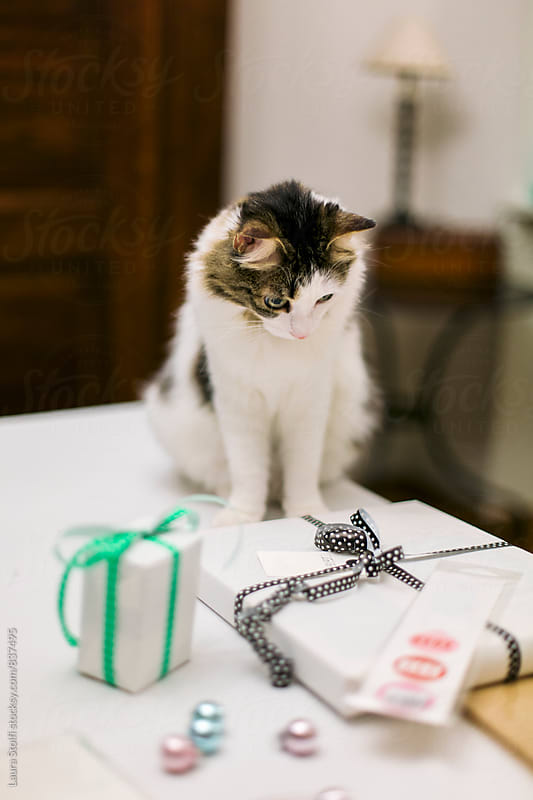 Siberian cat staring wrapped gifts on table by Laura Stolfi for Stocksy United
