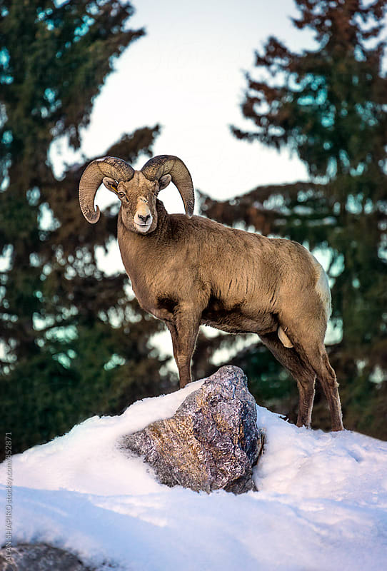 Bighorn Sheep by alan shapiro for Stocksy United