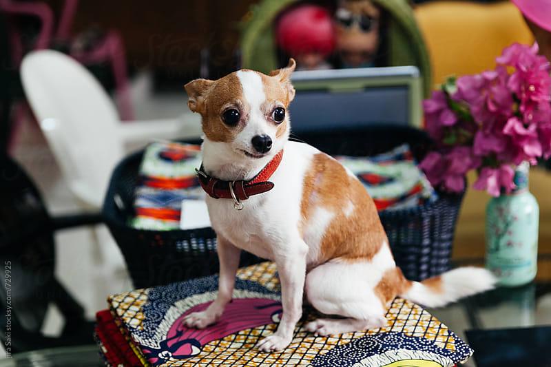 Chihuahua dog by jira Saki for Stocksy United