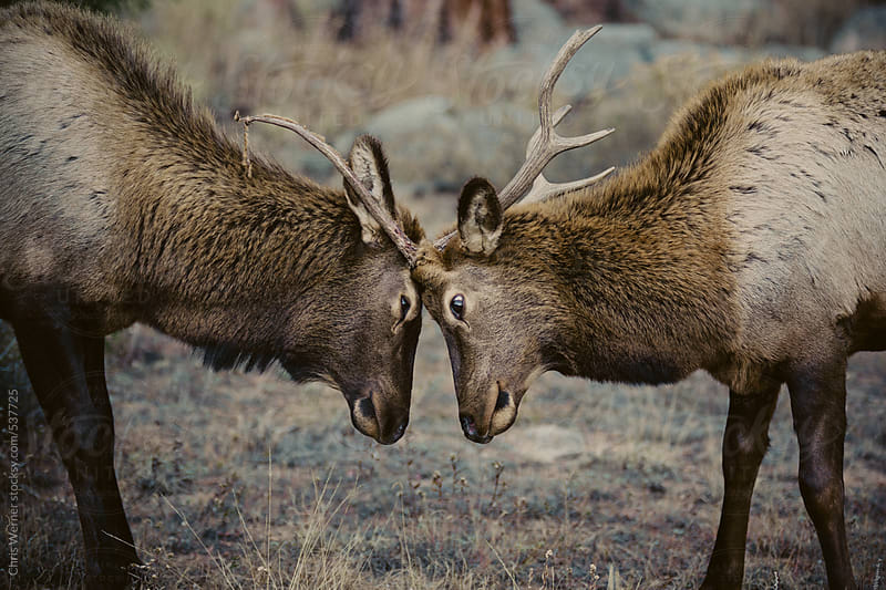 Two male elk by Chris Werner for Stocksy United