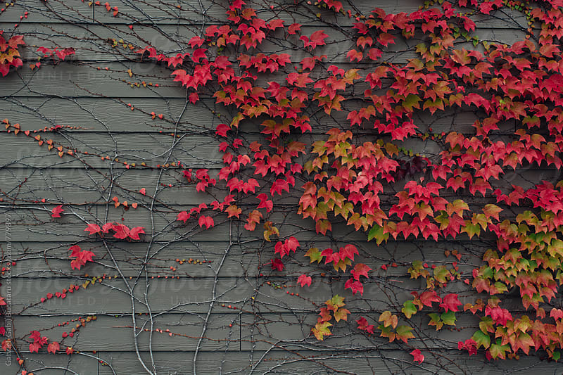 Virginia Creeper on a wall by Gabriel (Gabi) Bucataru for Stocksy United