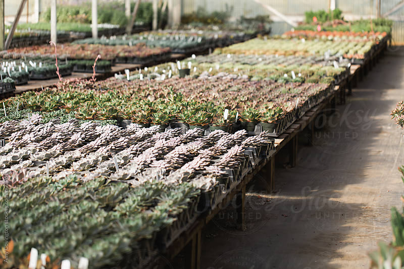 Succulents growing in a greenhouse. by Amy Covington for Stocksy United
