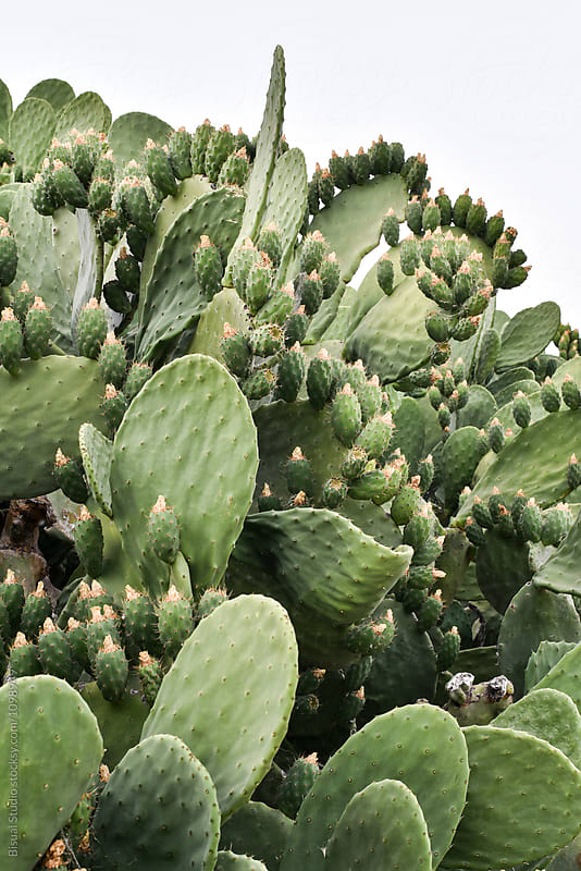 Close-up of prickely pear cactus with fruit in Andalusia, Spain by Bisual Studio for Stocksy United