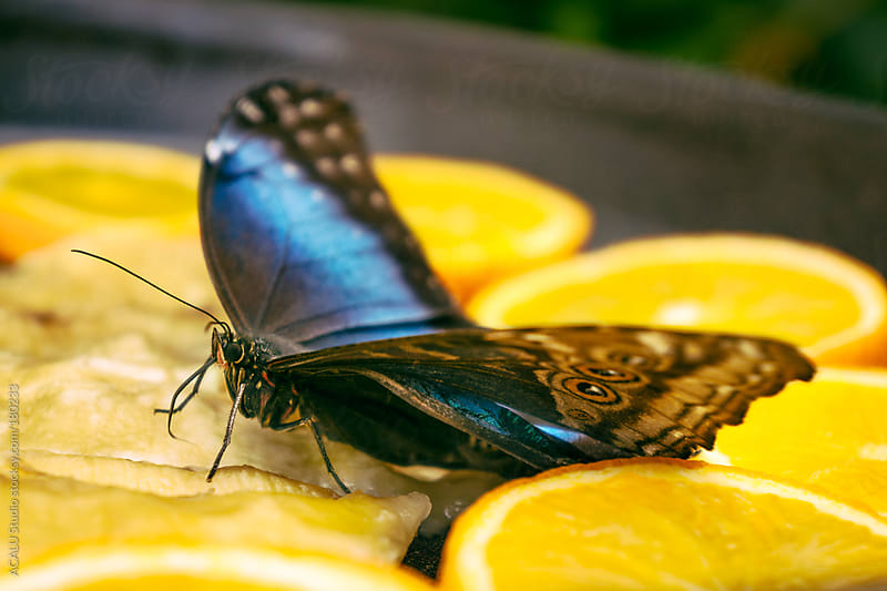 Butterfly eating oranges and banana by ACALU Studio for Stocksy United