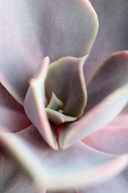 Echeveria succulent by Marcel for Stocksy United