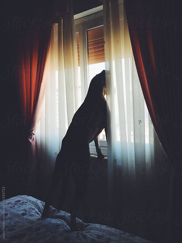dog looking out the window for cats  by Javier Pardina for Stocksy United