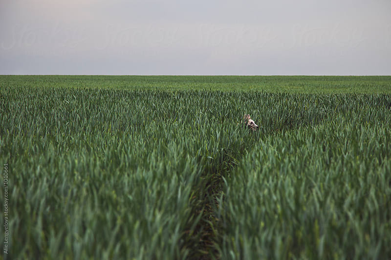 Whippet in the Middle of Field by Alie Lengyelova for Stocksy United