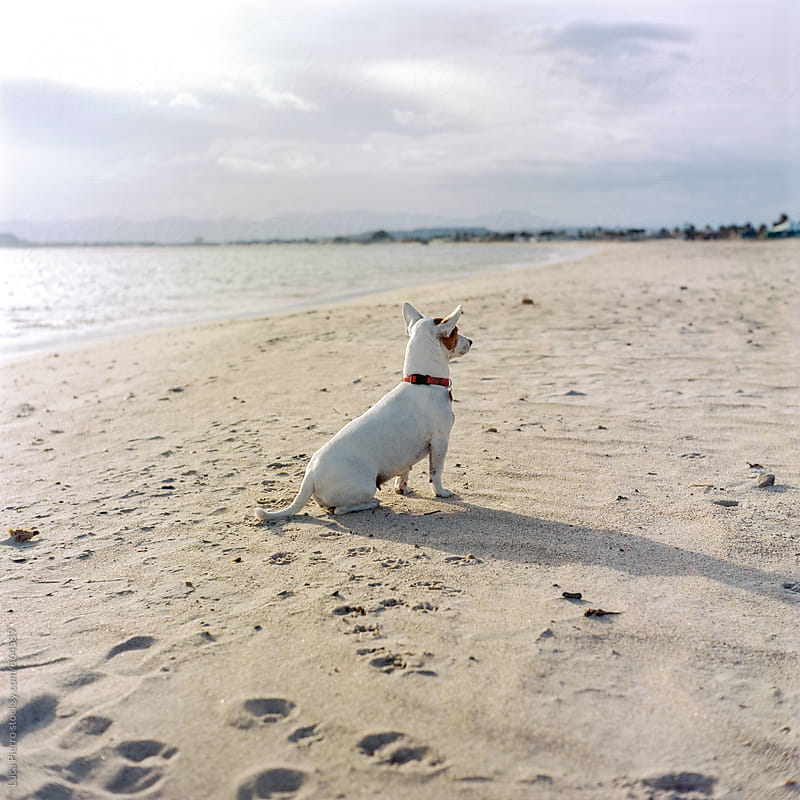 Jack Russell Terrier on the beach by Luca Pierro for Stocksy United