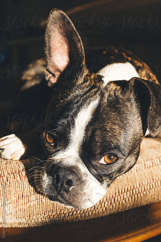 Bruce the Boston Terrier gets some California rays. by Shannon Aston for Stocksy United