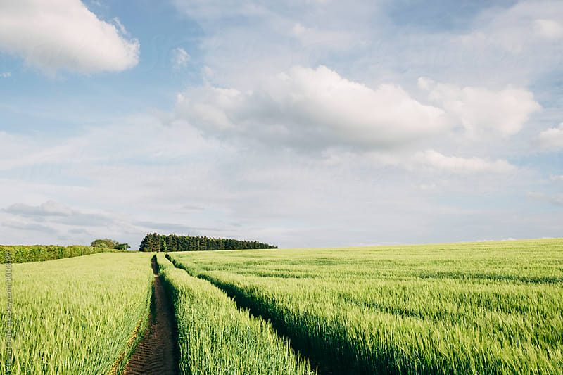 Track through a field of fresh barley. Norfolk, UK. by Liam Grant for Stocksy United