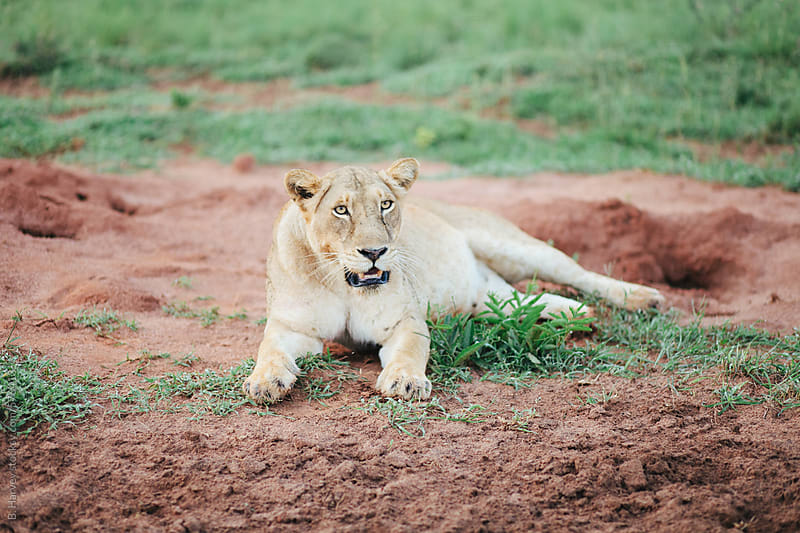 Lioness Lounging in the Dirt After a Kill by B. Harvey for Stocksy United