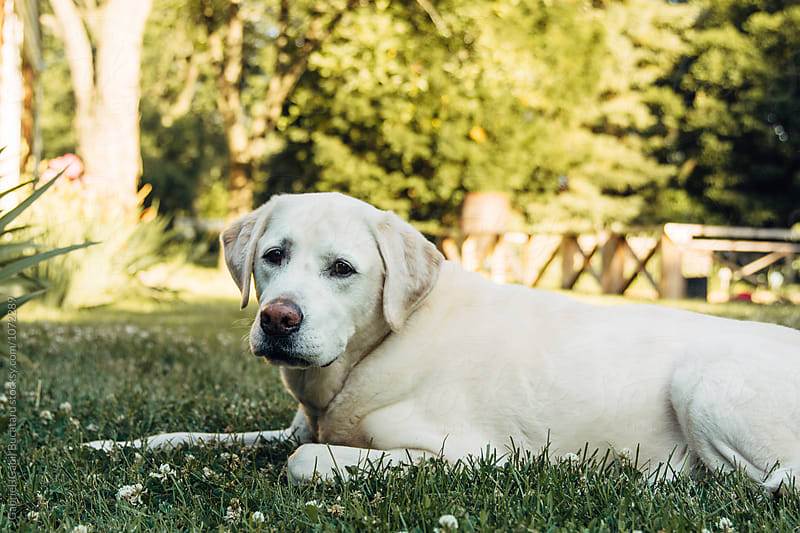 White dog laying on a lawn by Gabriel (Gabi) Bucataru for Stocksy United