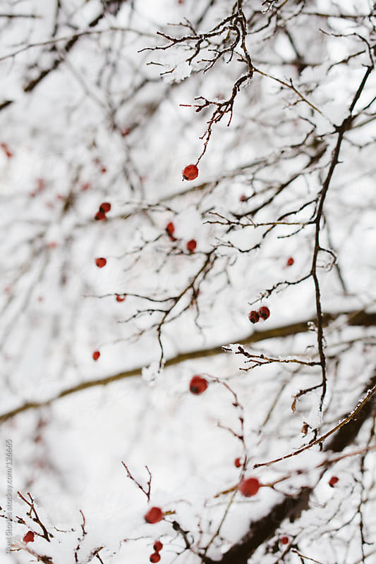 Snowy hawthorn tree by Pixel Stories for Stocksy United