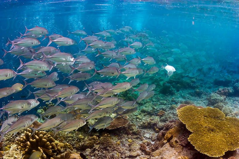 Fish swimming over coral reef by Soren Egeberg for Stocksy United