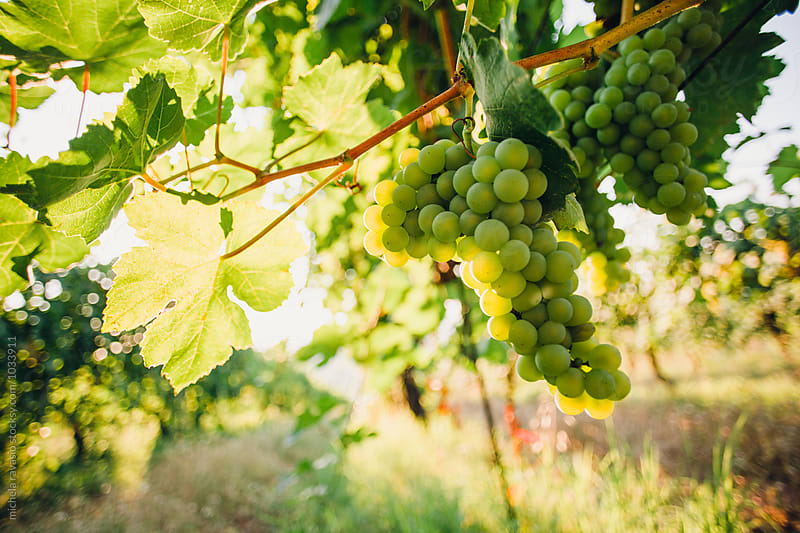 Grapes by michela ravasio for Stocksy United