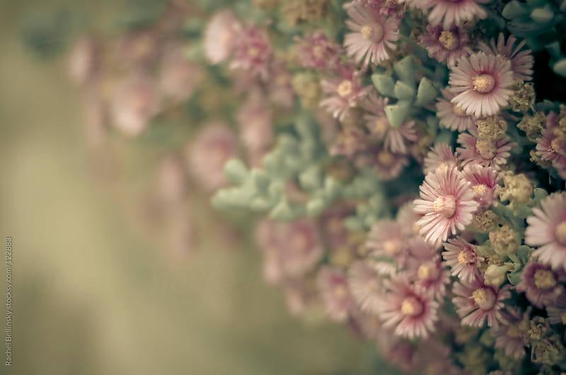Pink succulent blooms in soft, antique tones by Rachel Bellinsky for Stocksy United