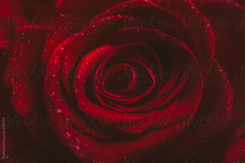Red Rose Background by HEX. for Stocksy United
