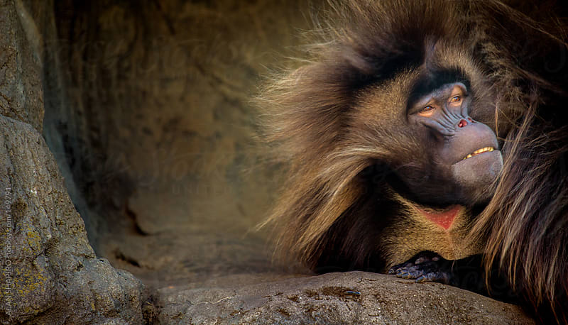 Gelada in her cave by ALAN SHAPIRO for Stocksy United
