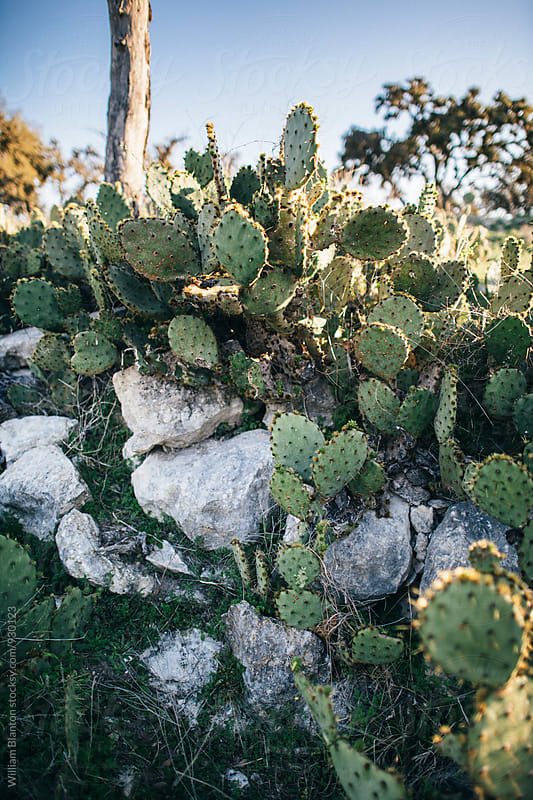Cactus in the Texas Hill Country by William Blanton for Stocksy United