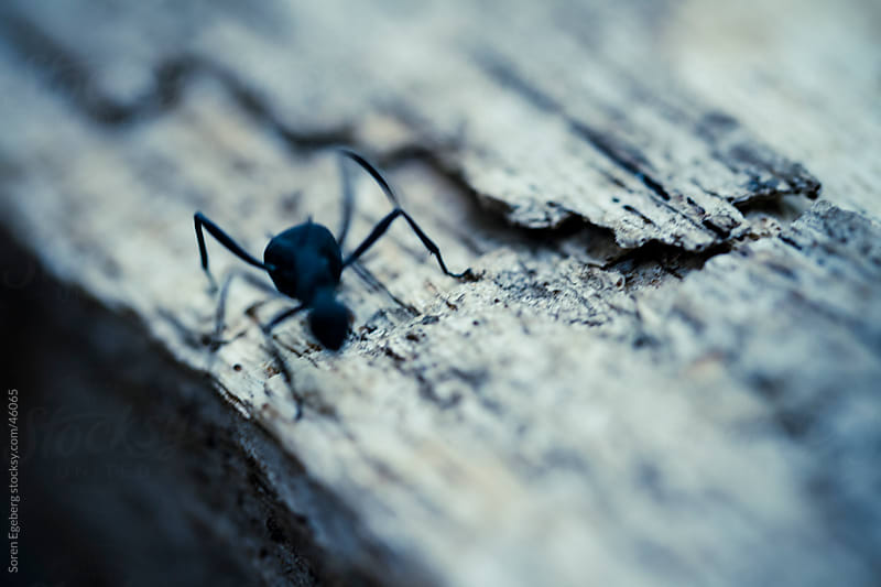 Ant eating the wood of an old wooden plank  by Soren Egeberg for Stocksy United