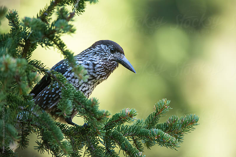 Spotted Nutcracker by Peter Wey for Stocksy United