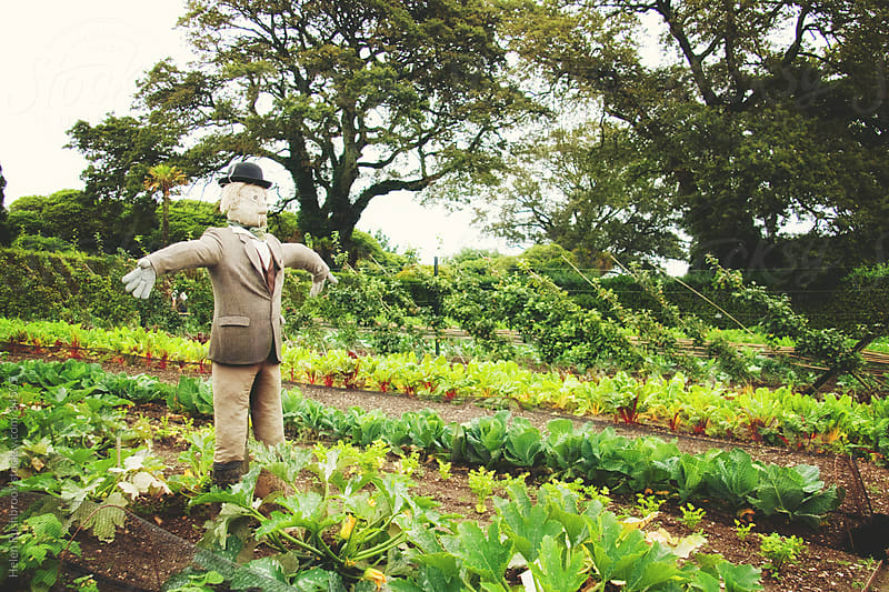 A scarecrow in a vegetable garden by Helen Rushbrook for Stocksy United