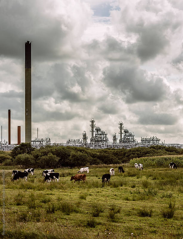 Cows and gas plant by Photographer Christian B for Stocksy United