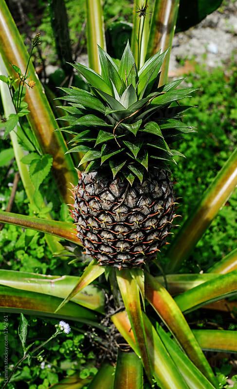 Ripe Pineapple by Lumina for Stocksy United
