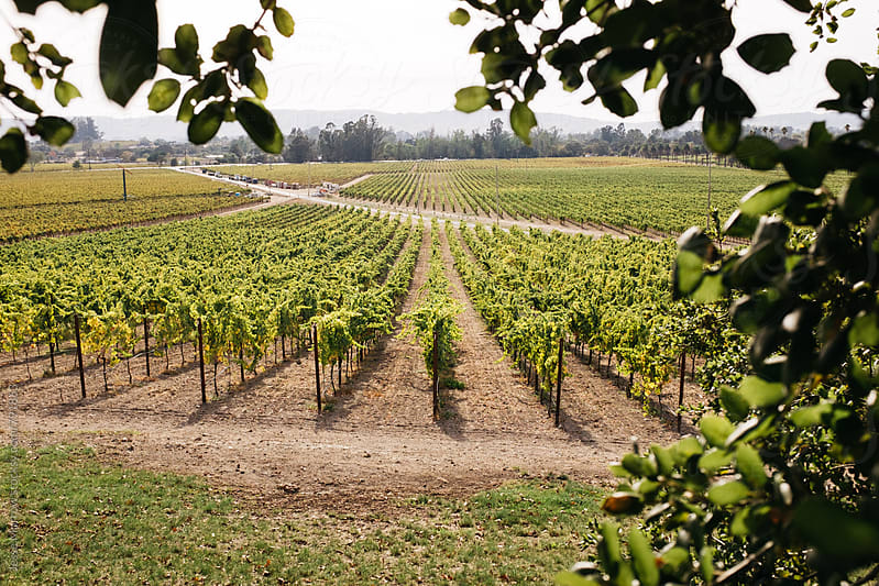 rows in vineyard winery california by Jesse Morrow for Stocksy United
